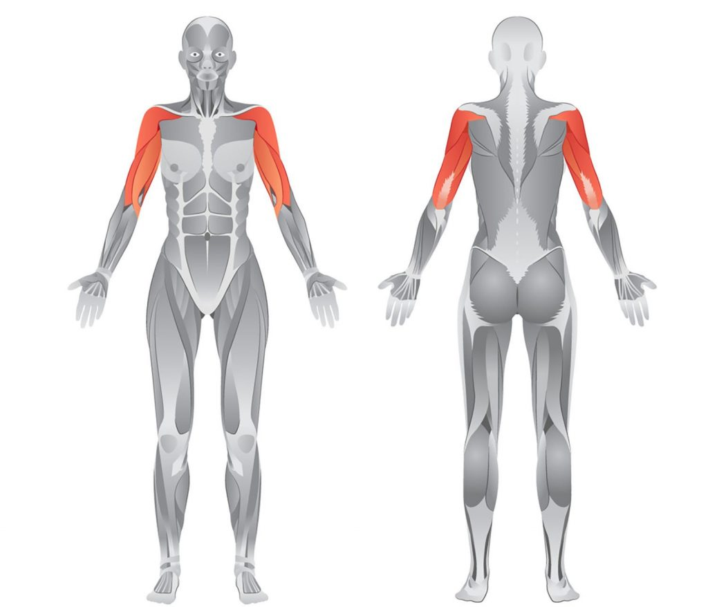 arms and shoulders anatomy